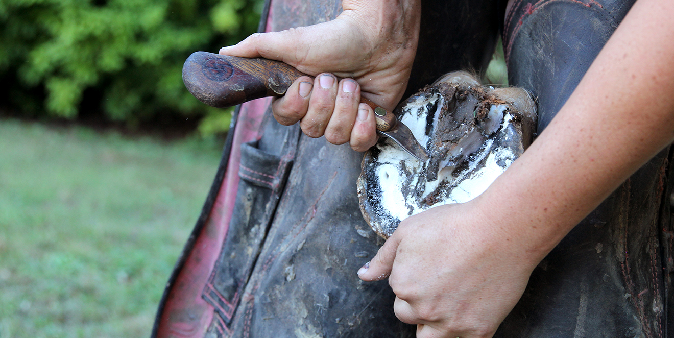 Farrier With Hoof Thrush